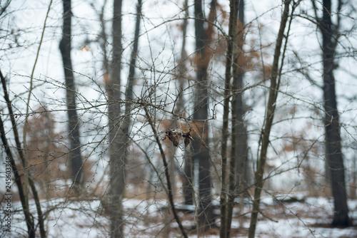 Foto auf Leinwand Luchs winter forest landscape