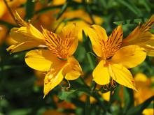 Alstroemeria Aurea - Lys Des Incas Ou Lys Du Pérou De Couleur Orange Et Jaune Strié De Brun. Une Fleur Typique De Patagonie