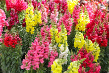 Variety Of Beautiful Antirrhinum Majus Or Snapdragon Flowers Red, White, Pink And Yellow Colors In The Garden.