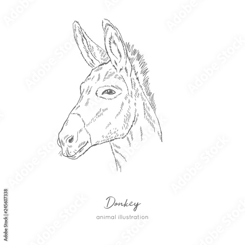 Side view Vector portrait illustration of donkey farm animal Hand drawn ink realistic sketching isolated on white Poster Mural XXL