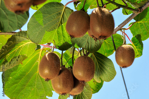 Photo ripe fruits of kiwi plant organic cultivation