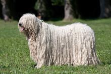 Komondor (Hungarian Sheepdog) ...