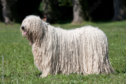 Fotografie, Obraz Komondor (Hungarian sheepdog) posing in the park