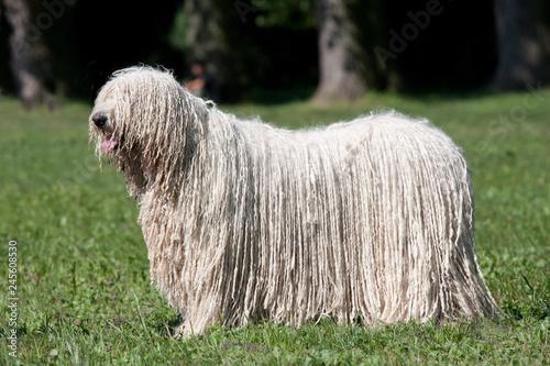 Canvas Print Komondor (Hungarian sheepdog) posing in the park