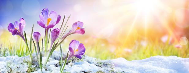 Springtime - Crocus Flower ...