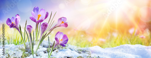 Photo sur Aluminium Crocus Springtime - Crocus Flower Growth In The Snow With Sunbeam
