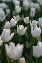 White Cloud Hakuun Darwin Hybrid Tulip. Colorful Tulip Flower Fields.