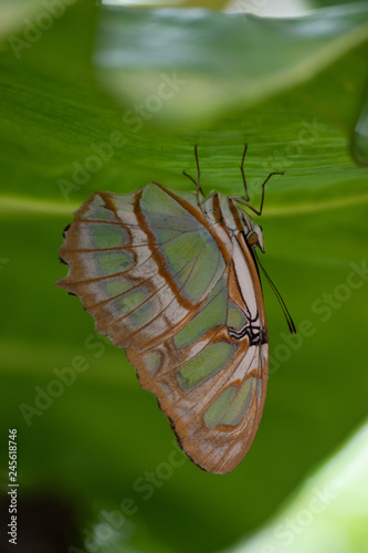 Fotografie, Obraz  Butterfly under a leaf