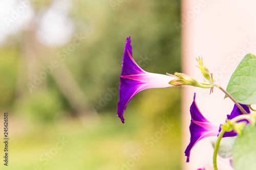 Fotografie, Tablou  Macro closeup of purple pink and white one morning glory flower in summer garden