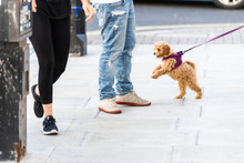 Happy Cute And Adorable Small Brown Dog On Leash On Road Street Sidewalk Pavement In Urban Town City Jumping On Pedestrians People And Owner