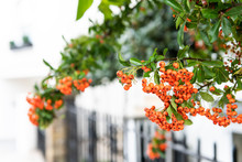 Closeup Of Orange Berries Of A...