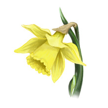 żonkil żółty Kwiat Wiosna Daffodil