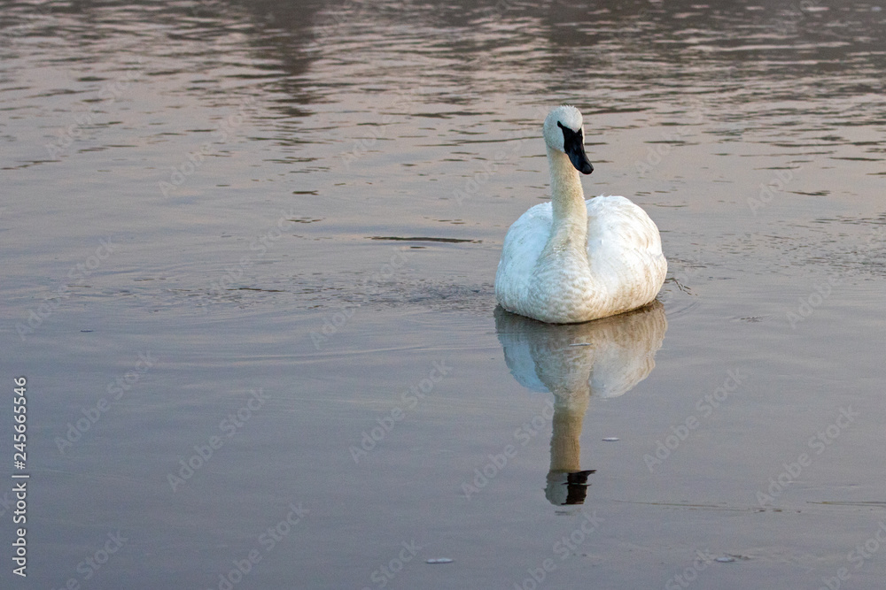 Lone Trumpeter Swan reflecting in Yellowstone River at dawn in Yellowstone National Park in Wyoming United States