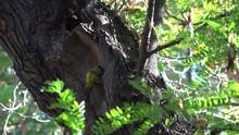 Grey Woodpecker Mother Buildin...