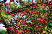 Berberis In Autumn Garden.