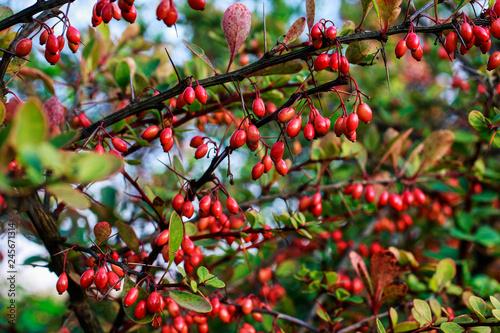 Photo Berberis in autumn garden.