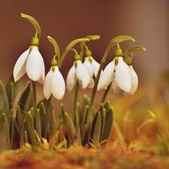 Fototapeta Do jadalni Snowdrops. First spring flowers in the grass. Natural colorful background in the garden. (Galanthus)