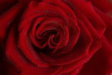 Red Rose Red Macro In Drops Of Dew