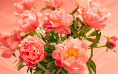Fototapeta Peonie Fresh coral peony flowers for holiday