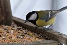 Grain Seeds For Feeding Tomtit Birds In Winter Snow