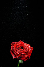 A Close-up Photograph Of A Deep Red Blossoming Rose Covered In Droplets Of Water In Front Of A Black Background Witch Copy Space