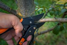 Gardener Pruns The Fruit Trees...