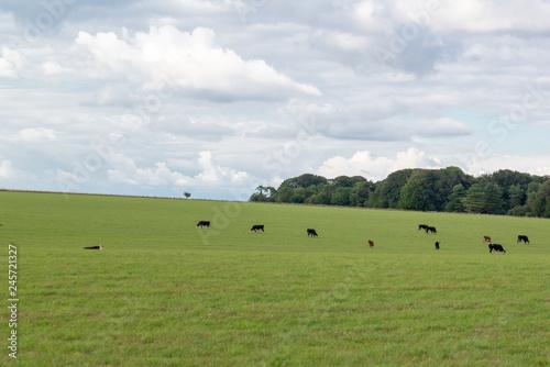 Mucche al pascolo in campagna Slika na platnu