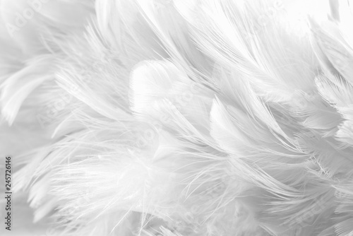 Cadres-photo bureau Cygne Abstract background Bird and chickens feather texture ,blur style and soft color of art design