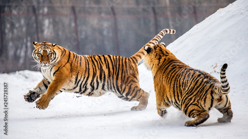 In de dag Tijger Two Siberian (Amur) tigers play with each other in a snowy glade. China. Harbin. Mudanjiang province. Hengdaohezi park. Siberian Tiger Park. Winter. Hard frost. (Panthera tgris altaica)
