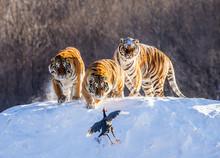 Several Siberian (Amur) Tigers...