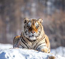 Siberian (Amur) Tiger Lying On...