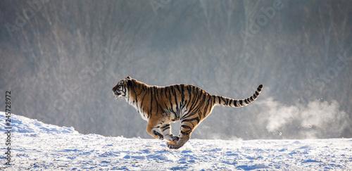 Photo sur Toile Tigre Siberian (Amur) Tiger running in the snow. Very dynamic photo. China. Harbin. Mudanjiang province. Hengdaohezi park. Siberian Tiger Park. Winter. Hard frost. (Panthera tgris altai