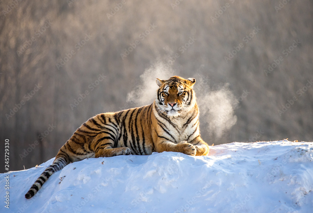 Siberian (Amur) tiger lying on a snow-covered hill. China. Harbin. Mudanjiang province. Hengdaohezi park. Siberian Tiger Park. Winter. Hard frost. (Panthera tgris altaica)