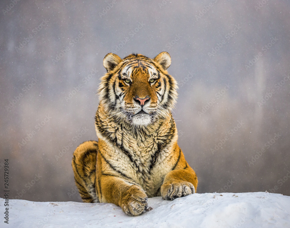 Siberian (Amur) tiger lying on a snow-covered hill. Portrait against the winter forest. China. Harbin. Mudanjiang province. Hengdaohezi park. Siberian Tiger Park. (Panthera tgris altaica)