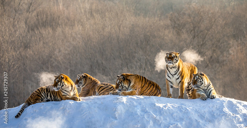Several siberian (Amur) tigers on a snowy hill against the background of winter trees. China. Harbin. Mudanjiang province. Hengdaohezi park. Siberian Tiger Park.