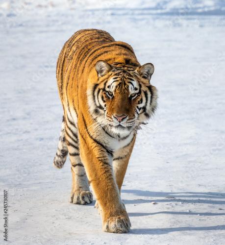 Siberian (Amur) tiger walks in a snowy glade. Very unusual image. China. Harbin. Mudanjiang province. Hengdaohezi park. Siberian Tiger Park. Winter. (Panthera tgris altaica)
