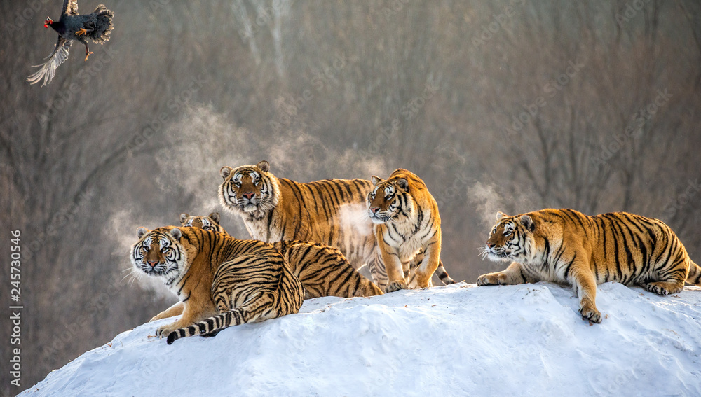 Several siberian tigers are standing on a snow-covered hill and catch prey. China. Harbin. Mudanjiang province. Hengdaohezi park. Siberian Tiger Park. Winter. Hard frost. (Panthera tgris altaica)