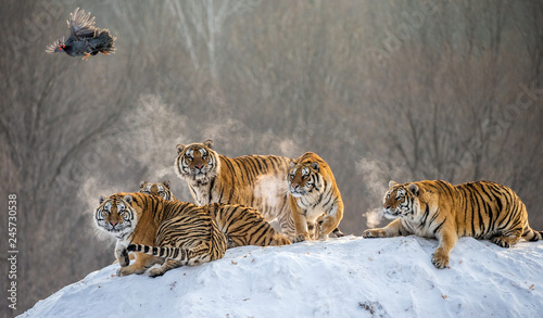 Foto auf AluDibond Tiger Several siberian tigers are standing on a snow-covered hill and catch prey. China. Harbin. Mudanjiang province. Hengdaohezi park. Siberian Tiger Park. Winter. Hard frost. (Panthera tgris altaica)