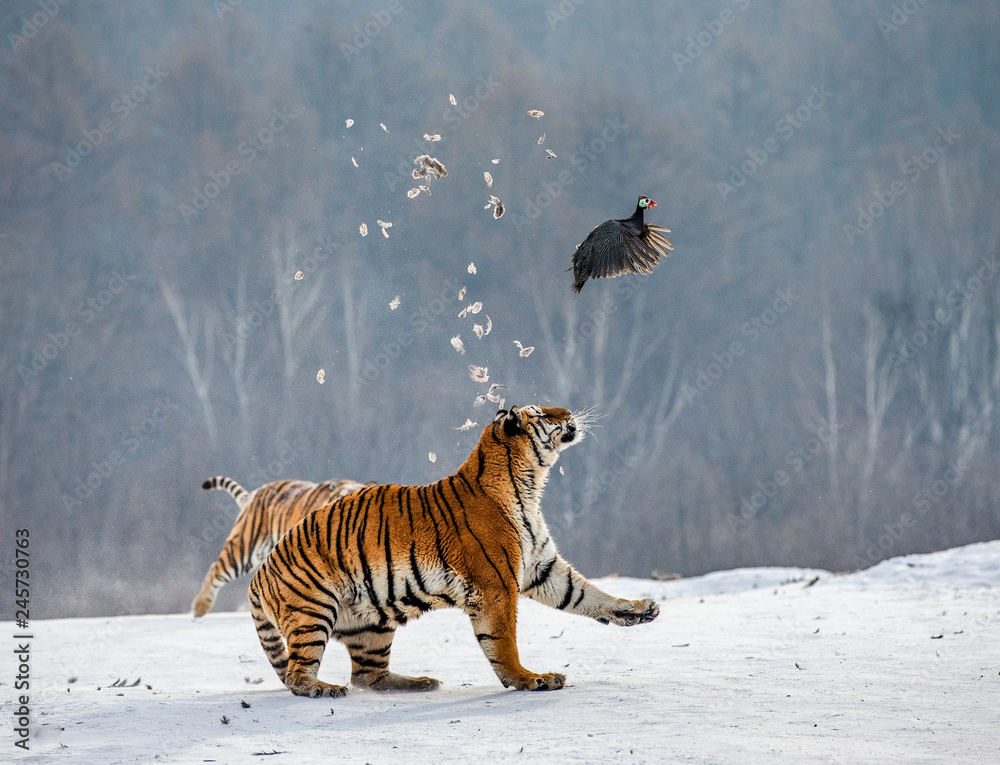 Siberian tigers in a snowy glade catch their prey. Very dynamic shot. China. Harbin. Mudanjiang province. Hengdaohezi park. Siberian Tiger Park. Winter. Hard frost. (Panthera tgris altaica)