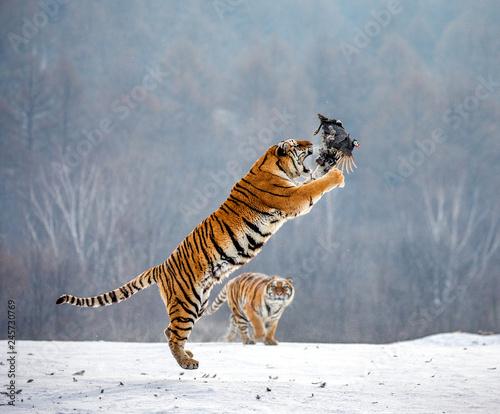 Fototapeta premium Tygrys syberyjski w skoku łapie swoją zdobycz. Bardzo dynamiczny strzał. Chiny. Harbin. Prowincja Mudanjiang. Park Hengdaohezi. Park Tygrysów Syberyjskich. Zimowy. Twardy mróz. (Panthera tgris altaica)