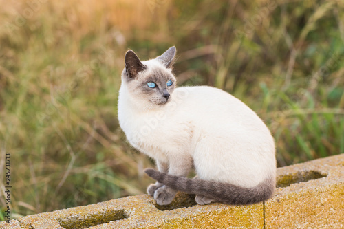 Fotografía  Pets and pedigree animals concept - Portrait of the siamese cat with blue eyes