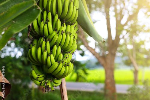 Cavendish Banana Tree. Fototapete