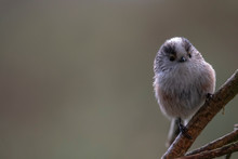 Long-tailed Tit, Aegithalos Caudatus, Perched On Pine Tree Branch In Scotland During Winter With Expressions With Background.