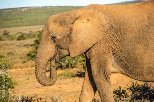 Foto op Canvas Olifant Potrait of an elephant in south africa