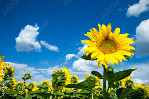 Poster Tournesol Sunflower field with cloudy blue sky