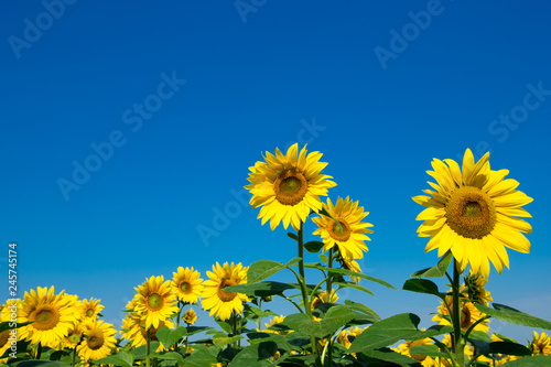Poster de jardin Tournesol Sunflower field with cloudy blue sky