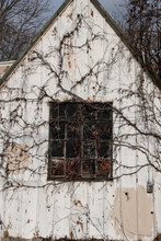 Old Shed With Vines Growing Over Window