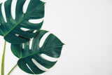 Monstera green leaf isolated on white background in flat lay style and top view in blue toned.