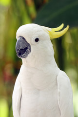 The yellow-crested cockatoo (Cacatua sulphurea) also known as the lesser sulphur-crested cockatoo, portait with green background.