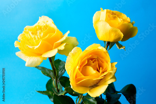 Yellow roses against blue background